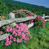 Rhododendrun Delight